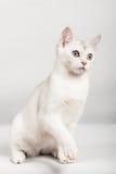 Gato branco fotos de stock royalty free