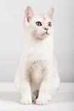 Gato branco imagem de stock