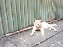 Gato branco Imagens de Stock