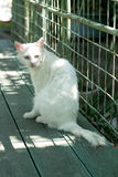 Gato branco bonito com os olhos grandes tristes Foto de Stock Royalty Free