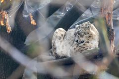 Gato branco bonito do Snow Leopard, Irbis fotos de stock