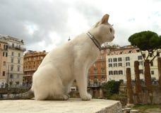Gato branco bonito que senta-se em Largo di Torre Argentina quadrado Nas ruínas romanas antigas no local do assassinato de foto de stock royalty free