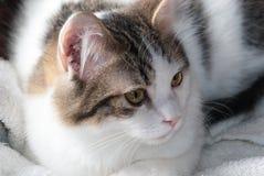 Gato branco com Brown Tabby Markings Fotos de Stock Royalty Free