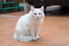 Gato branco com cabelo e olhos azuis longos Fotos de Stock Royalty Free