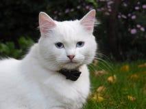 Gato branco com olhos azuis Fotografia de Stock Royalty Free