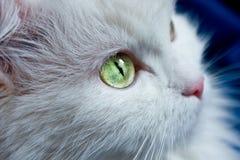 Gato branco com olhos verdes. Fotos de Stock