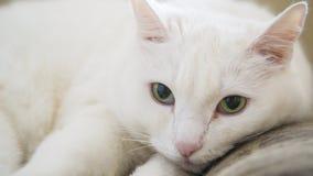 Gato branco com olhos verdes Fotos de Stock