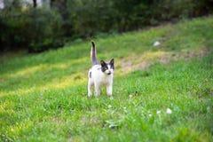 Gato branco com pontos cinzentos e a cauda aumentada que anda na grama Fotografia de Stock Royalty Free