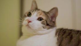 Gato branco com um ponto vermelho na cara vídeos de arquivo