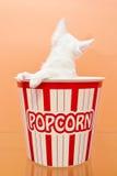 Gato branco dentro de uma cubeta da pipoca Fotografia de Stock Royalty Free