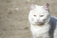Gato branco desabrigado Fotografia de Stock Royalty Free