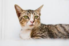 Gato branco do gato malhado no fundo branco Fotografia de Stock Royalty Free