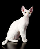 Gato branco do rex de Devon Isolado no fundo escuro Foto de Stock