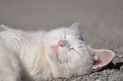 Gato branco do sono Fotografia de Stock Royalty Free