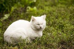 Gato branco doméstico na madeira Imagens de Stock Royalty Free
