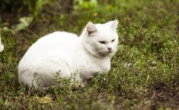 Gato branco doméstico na madeira Fotografia de Stock
