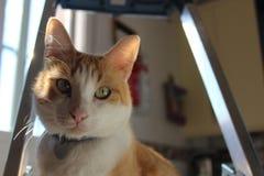 Gato branco e alaranjado fotografia de stock royalty free