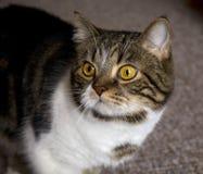 Gato com olhos amarelos Fotografia de Stock