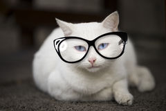 Gato branco eyed azul Imagem de Stock
