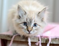 Gato branco impressionante Imagem de Stock Royalty Free
