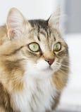 Gato branco marrom peludo imagens de stock