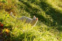 Gato branco na grama verde imagem de stock royalty free