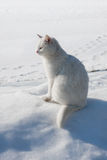 Gato branco na neve do awhite Fotos de Stock Royalty Free