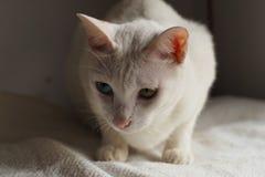 Gato branco no feriado branco da cama junto fotos de stock