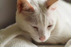 Gato branco no feriado branco da cama junto imagem de stock royalty free