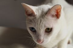 Gato branco no feriado branco da cama junto imagens de stock