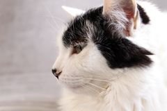 Gato branco no fundo cinzento imagem de stock