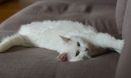 Gato branco que coloca no sofá fotografia de stock