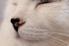 Gato branco que dorme com foco em seu focinho imagens de stock