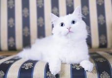 Gato branco que encontra-se no sofá Imagem de Stock