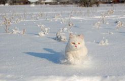 Gato branco Running Imagem de Stock