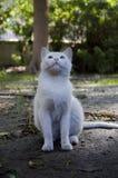 Gato branco que olha acima Fotos de Stock