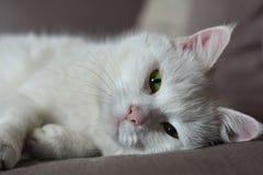 Gato branco que olha em linha reta à câmera fotografia de stock