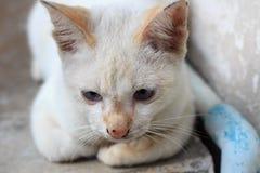 Gato branco que olha para baixo Fotografia de Stock