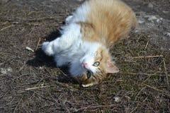 gato Branco-vermelho Imagens de Stock Royalty Free