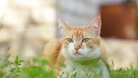 Gato branco vermelho engraçado bonito no colar vermelho que relaxa na grama verde no jardim do verão Por do sol, tiro da zorra filme