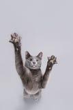 Gato brincalhão Fotos de Stock Royalty Free