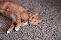 Gato brincalhão Fotografia de Stock Royalty Free