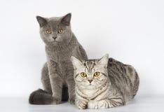 Gato británico Fotografía de archivo