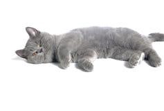 Gato británico. Fotografía de archivo