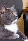 Gato británico Fotografía de archivo libre de regalías