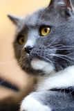 Gato británico Foto de archivo