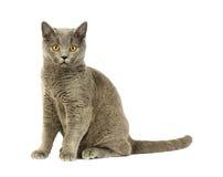 Gato británico Imagen de archivo