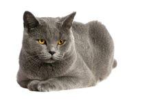 Gato británico Imágenes de archivo libres de regalías