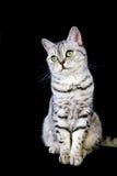 Gato británico adulto del pelo corto en fondo negro Imagenes de archivo