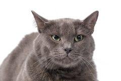 Gato británico adulto joven del shorthair con los ojos verdes Fotografía de archivo libre de regalías